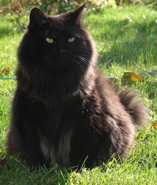 Cosette - cimetière des chats noirs