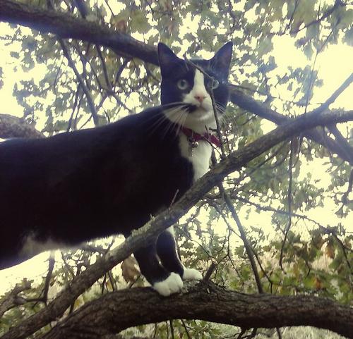 Georgio compagnon de Réglisse (chat noir 345)