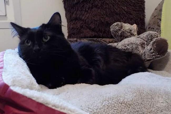 Anubis- chat noir 1198