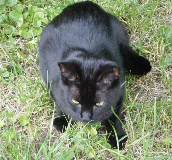 Archibald chat noir 1225