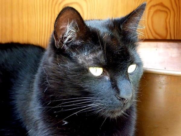 Bagheera, 375eme membre du Club Chats Noirs