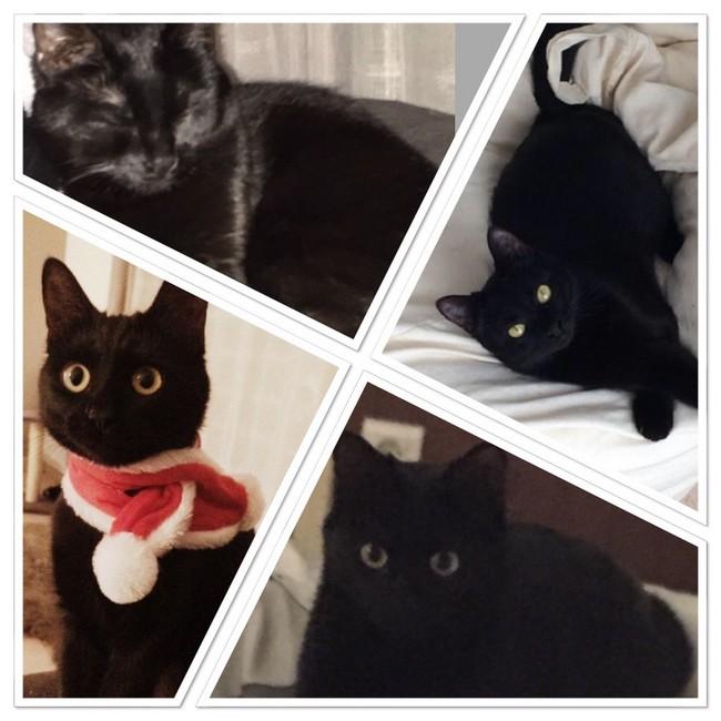 Bagheera  586e chat noir -Club Chats Noirs