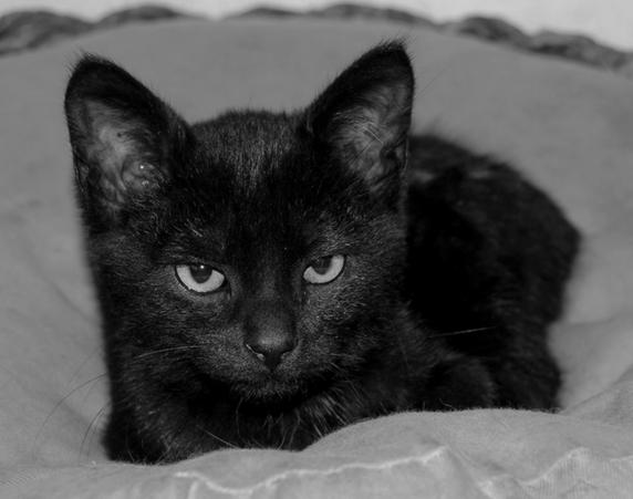 Black Jack 433e membre du Club Chats Noirs