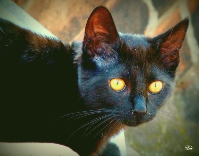 Buga 498e membre du Club Chats Noirs