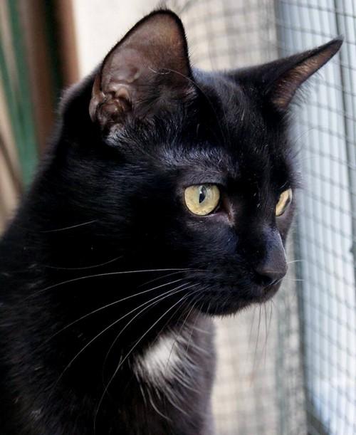 Cachou, 456e membre du Club Chats Noirs