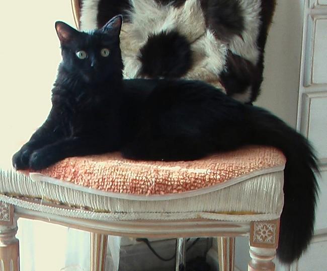 Chaman 645 chat noir