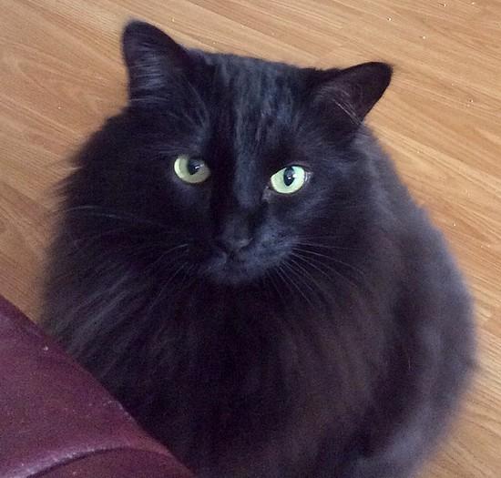 Chami chat noir 1215