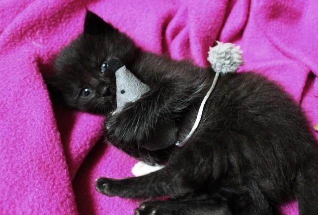 Habanita 532e membre club chats noirs