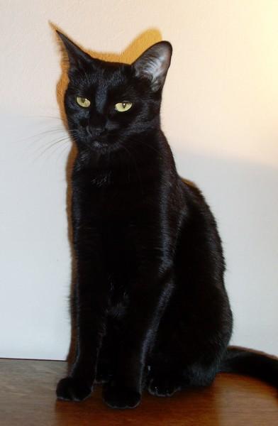 Hawaï chat noir 1222