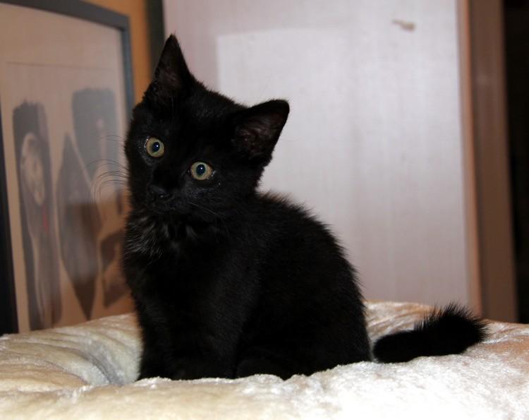 Jaya - chats noirs - 570