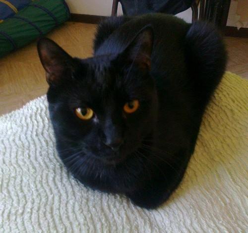 Kiba 534e membre club chats noirs