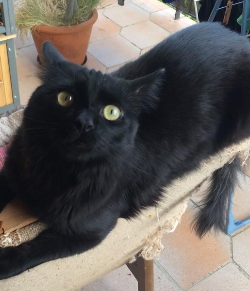 King Kong chat noir 1295