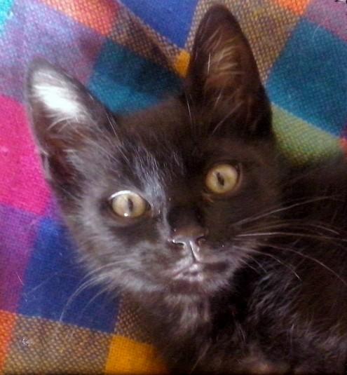 Kohlaan 625e chat noir - Club Chats Noirs