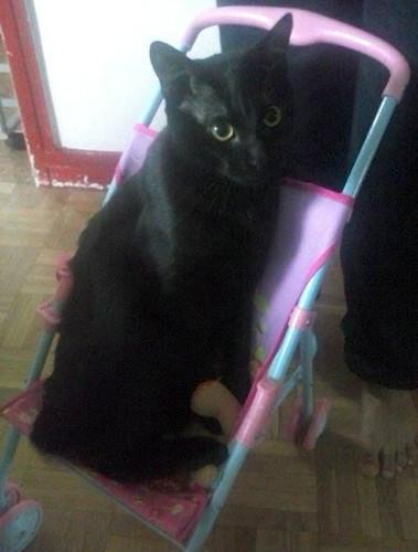Lybicat 630e chat noir - Club Chats Noirs