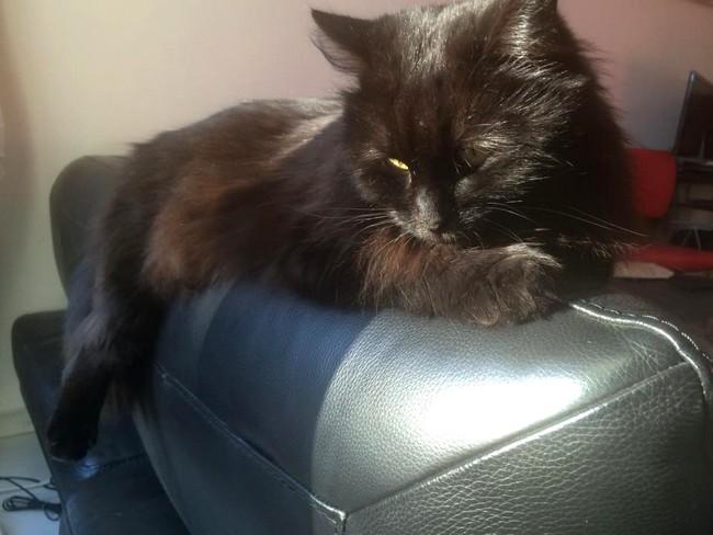 Maya - 573 - chats noirs