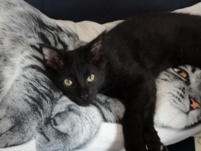 Merlin, 380e membre du Club Chats Noirs