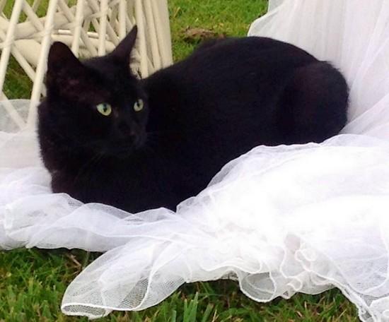 Milka 585e chat noir -Club Chats Noirs