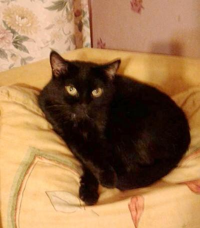 Mimine 621e chat noir - Club Chats Noirs