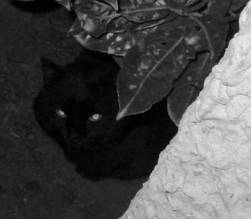 Mimine 628e chat noir - Club Chats Noirs