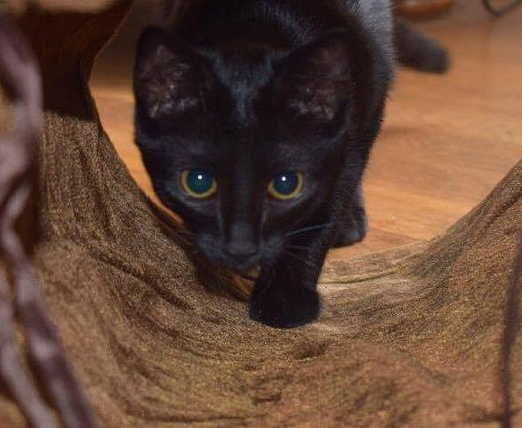 Moly chat noir 1285