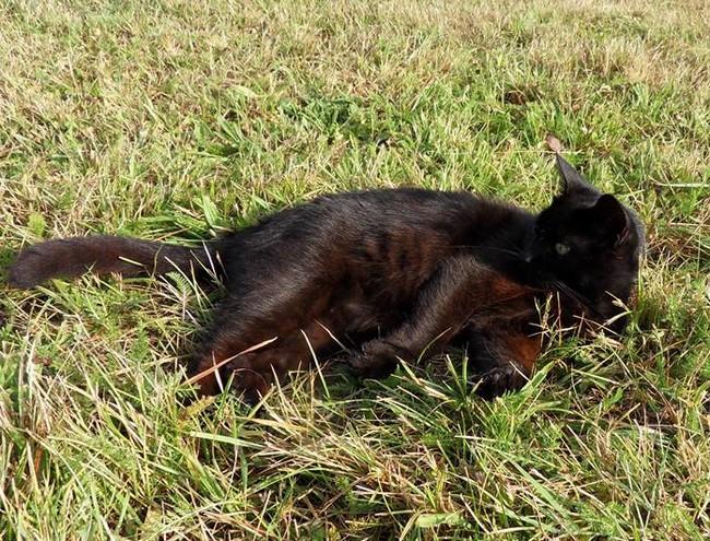 Monsieur Minette 447e membre du club chats noirs