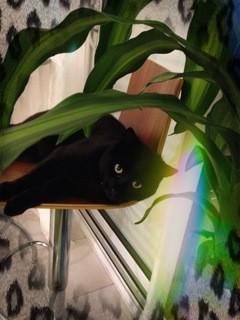 Mowgli 453e membre du Club Chats Noirs