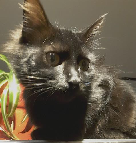 Mya chat noir 1286