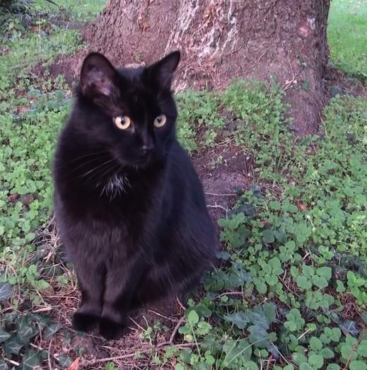 Myrtille -571- chats noirs