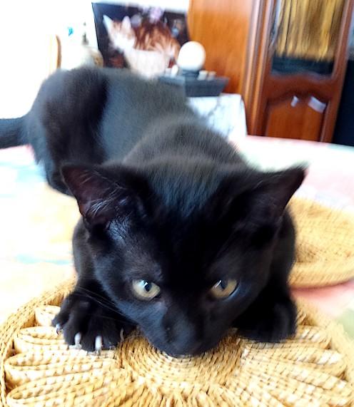 Némo 539e membre club chats noirs