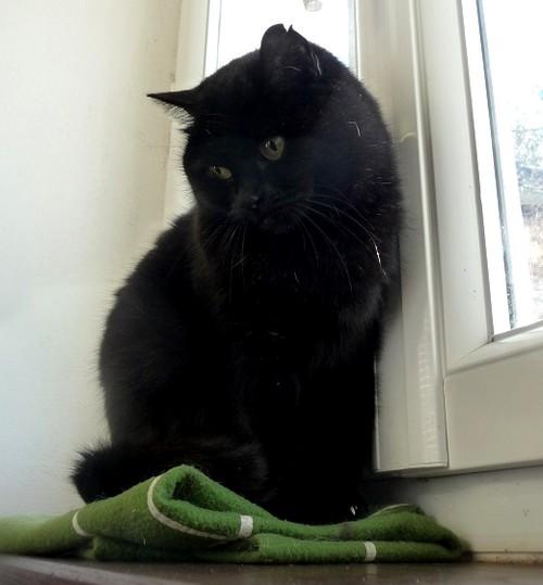 Nyx 369e membre  du club chats noirs