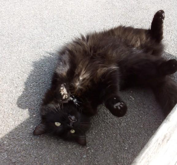 Papillon chat noir 1279