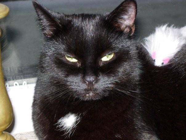 Prune, 455e membre du Club Chats Noirs