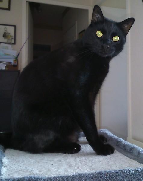 Réglisse chat noir 1236