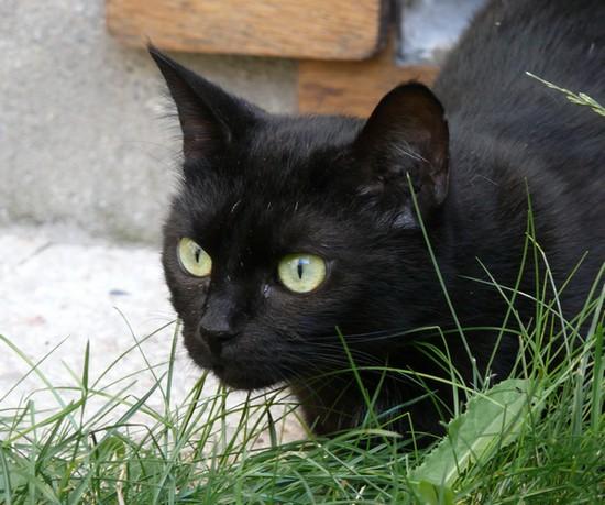 Réglisse, 406ème membre du Club Chats Noirs
