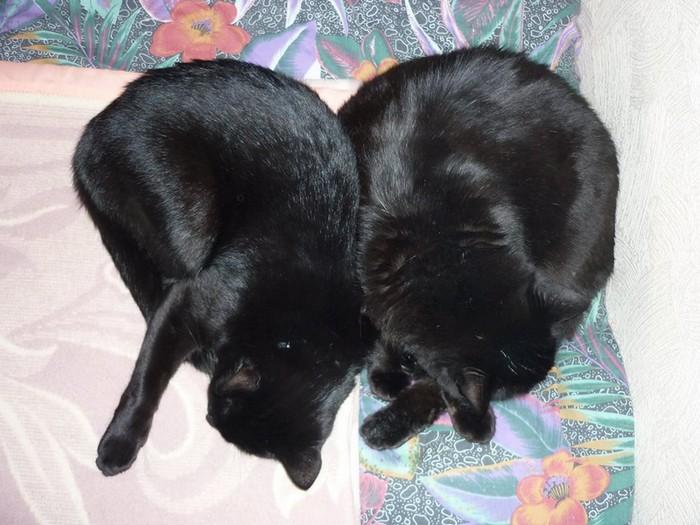 Salem & Bagheera 460e membre du club chats noirs