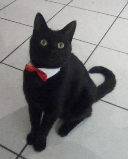 Salem chat noir 1294