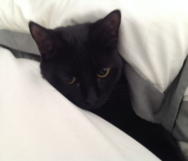 Scarlett, 445e membre du Club Chats Noirs