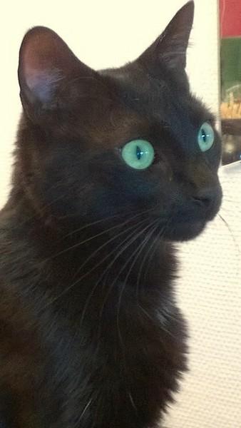Sheldon chat noir 1247