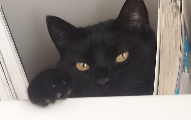 Sheldon chat noir 1263