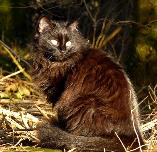 Tinùviel 370e membre  du club chats noirs