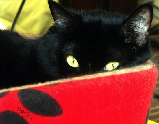 Twinkle Dinkle Heidari, 378e membre du Club Chats Noirs