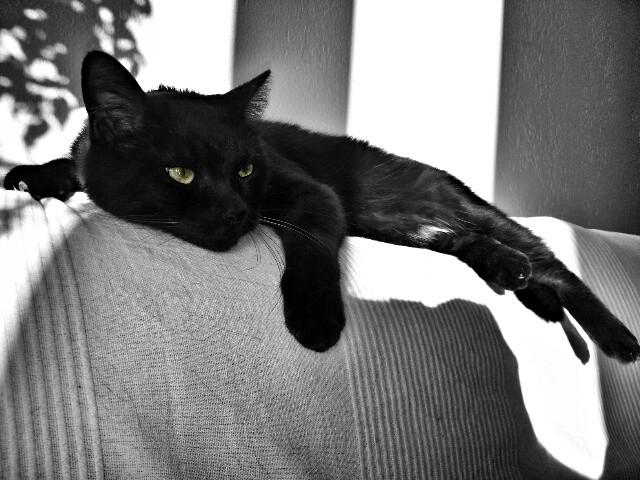 Velcro, 457e membre du Club Chats Noirs