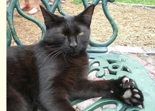 Chat noir polydactyle - Hemingway