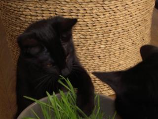 Habanita 532e membre lub chats noirs