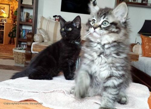 Bijou 550e mmebre club chats noirs