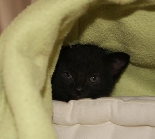 Orage 629e chat noir - Club Chats Noirs