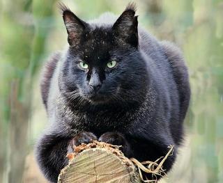 Chat des marais ou Chaus/ noir